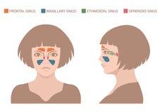 bihålaanatomi, mänskligt respiratoriskt system royaltyfri illustrationer