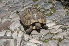 Tortoise walking along the street stock images