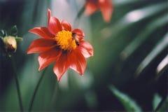 bihonung Royaltyfria Bilder