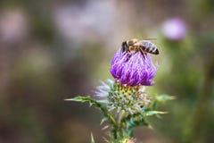 Bihopsamlingpollen från kardborreblomman Solig day_ för sommar Arkivfoton