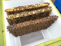 Bij behandelde kaders in bijenkorf Stock Fotografie