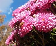 Bij bij roze bloemen Stock Afbeelding