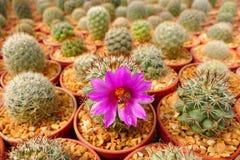 Bij binnen roze bloem Royalty-vrije Stock Afbeelding
