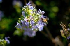 Bij in de de lentetijd Stock Foto