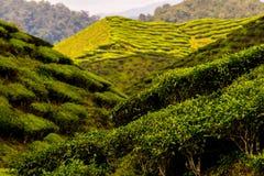 Bij de theeaanplanting stock afbeeldingen