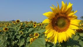 Bij in de zonnebloem Stock Foto's