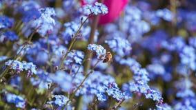 Bij die de blauwe bloemen werken Stock Afbeeldingen