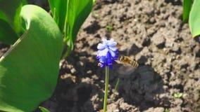 Bij die dichtbij purpere bloem vliegen stock footage