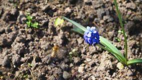 Bij die dichtbij purpere bloem vliegen stock videobeelden