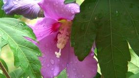Bij die een bloei van hibiscus bezoeken stock video