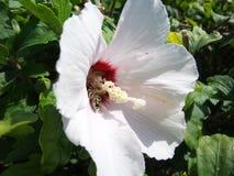 Bij die een bloem bestuiven Stock Afbeelding