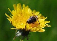 Bij die een gele bloem bezoeken royalty-vrije stock afbeelding
