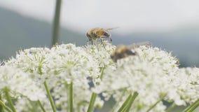 Bij die en nectar van wildflowers op weide dicht omhoog bestuiven verzamelen stock video