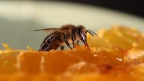 Bij die honing en nectar verzamelen stock video