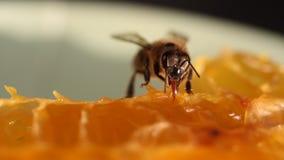 Bij die honing en nectar verzamelen stock footage