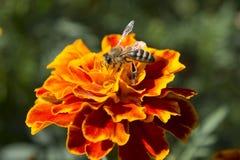 Bij die honing eten Stock Foto