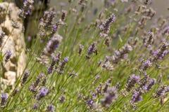 Bij die honing op een lavendelgebied verzamelen Royalty-vrije Stock Foto's