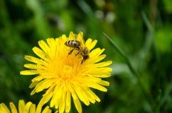 Bij die honing van een bloem verzamelen Stock Foto