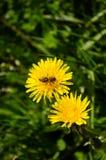 Bij die honing van een bloem verzamelen stock afbeeldingen