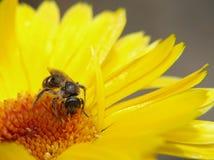 Bij die honing verzamelt Stock Afbeelding