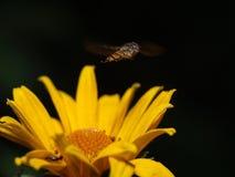 Bij die honing verzamelt Royalty-vrije Stock Foto's