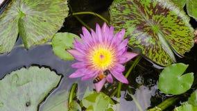Bij die met mooie lotusbloembloem waterlily vliegen, dichte omhooggaande, langzame geanimeerde video stock video