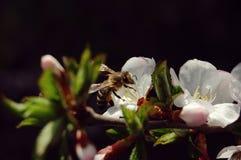 Bij die nectar van bloem van kers, close-up verzamelen Stock Afbeeldingen