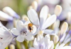 Bij die nectar van een Agapanthus-bloem verzamelen royalty-vrije stock fotografie