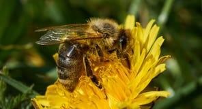 Bij die nectar van een gele bloem verzamelen royalty-vrije stock foto