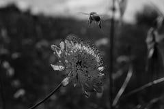 Bij die op bloem in zwart-wit landen Royalty-vrije Stock Fotografie