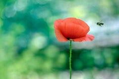 bij die op een papaverbloem vliegen voor nectar stock foto's