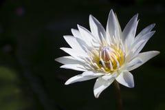 Bij die op lotusbloembloem zwermen Stock Foto's