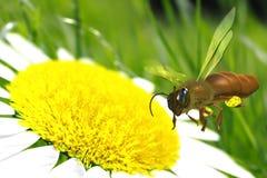 Bij die over de bloem vliegt. vector illustratie