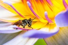 Bij die Stroop in de Lotus-bloem eten Royalty-vrije Stock Fotografie