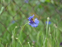 Bij die stuifmeel van een blauwe korenbloem na regen verzamelen Royalty-vrije Stock Fotografie