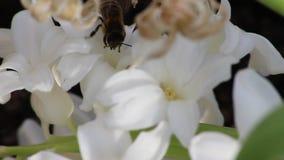 Bij die stuifmeel van een witte bloem verzamelen stock videobeelden