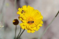 Bij die stuifmeel van gele bloem in de woestijn verzamelen tweede op een andere bloem op achtergrond stock fotografie