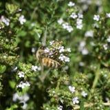 Bij die witte lavendel zoogt - vierkant Stock Afbeeldingen