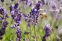 Bij door Lavendel, Tasmanige wordt aangetrokken dat royalty-vrije stock afbeeldingen