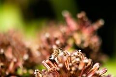 Bij in een bloem Royalty-vrije Stock Fotografie
