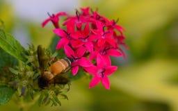 Bij in een rode bloem Royalty-vrije Stock Foto's