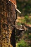 Bij een rubberaanplantingsreeks   Stock Foto's