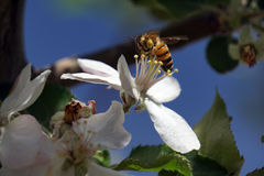 Bij en appelbloesem Stock Foto's