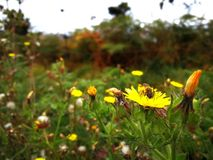 Bij en bloemen Stock Foto