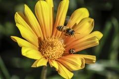 Bij en Dame Bug Royalty-vrije Stock Foto's