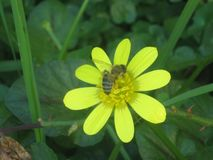 Bij en een bloem stock foto