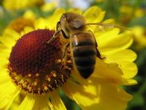 Bij en een gele bloem Royalty-vrije Stock Afbeeldingen
