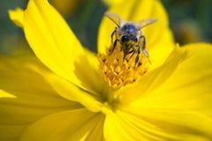 Bij en flower3 Royalty-vrije Stock Afbeeldingen