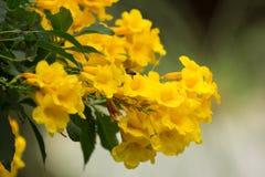 Bij en Gele bloem, Gele ouder Royalty-vrije Stock Fotografie