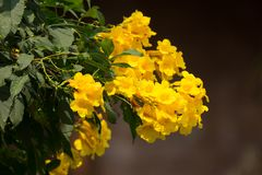 Bij en Gele bloem, Gele ouder Stock Fotografie